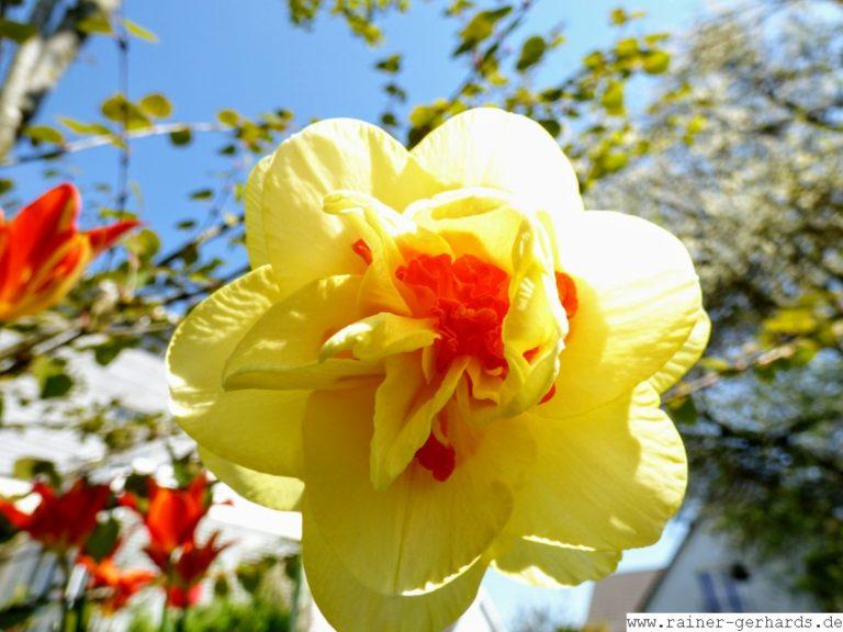 Auch die Osterglocken blühen...